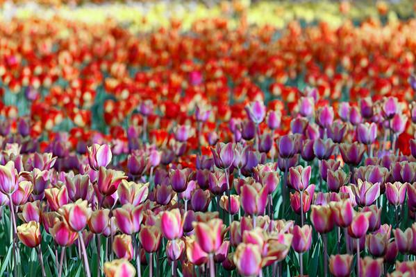 Les tulipes de Cheverny