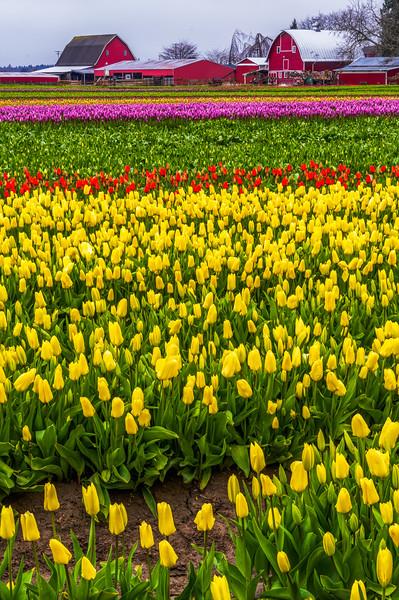 Tulips with cloudy sky-8.jpg