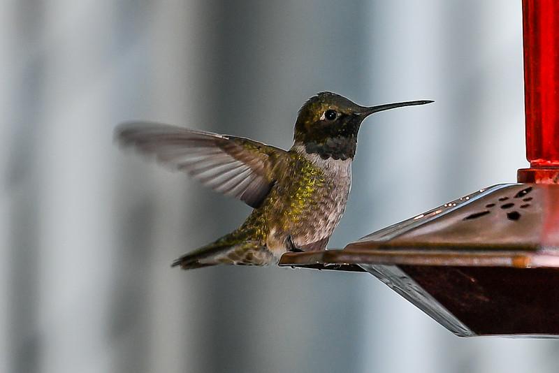 21MayHummingbirds (44 of 53).jpg