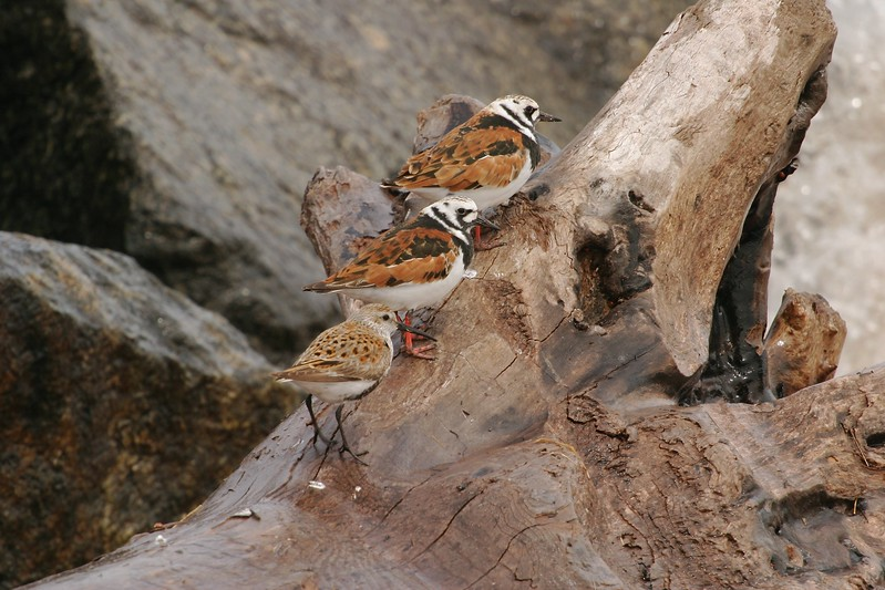 Ruddy Turnstones and Dunlins are a colorful addition to the spring flood of migrants coming through the Great Lakes each spring. They are on their way to the Arctic for breeding [May; Wisconsin Point, Lake Superior, Superior, Wisconsin]