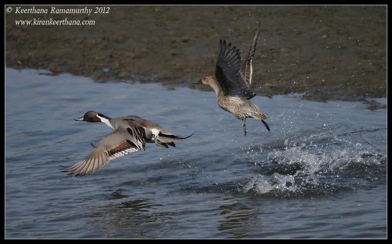 Northern Pintails take off, Robb Field, San Diego River, San Diego County, California, February 2012