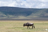 Wildebeest to the backdrop of the Crater Rim