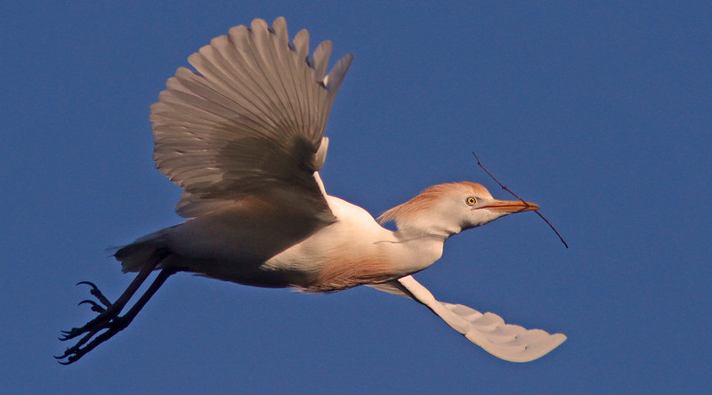 Cattle egret with nesting stick, Ninth Street Rookery
