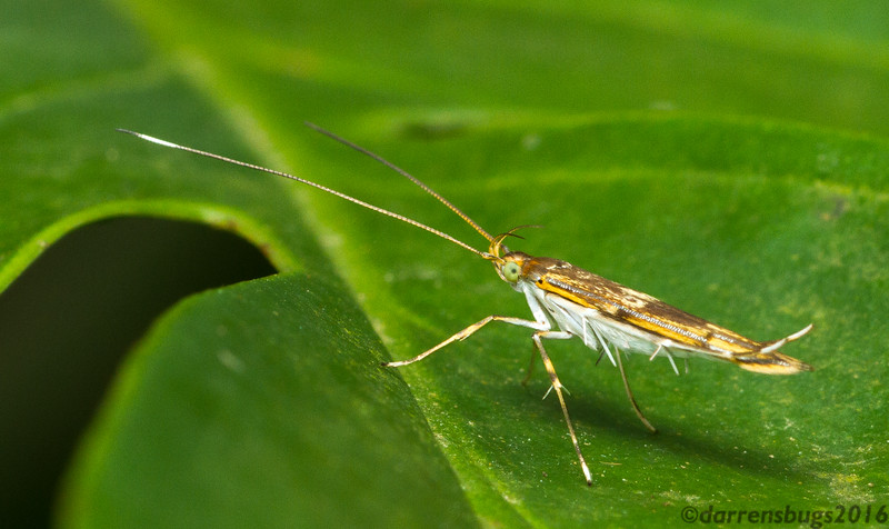 Cosmet moth (Gelechioidea: Cosmopterigidae) from Monteverde, Costa Rica.