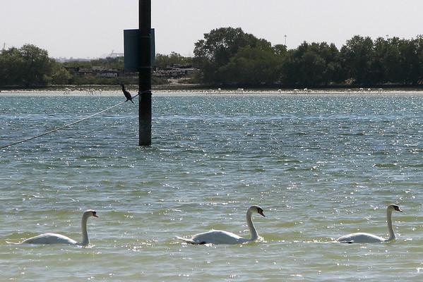 Mute Swan (escape)