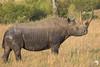 Black Rhino 1