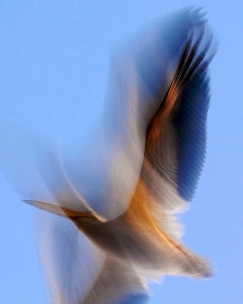 American White Pelican fly over at dawn