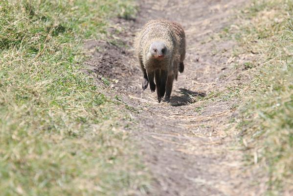Mara Non Cat Predators Mara Reserve Kenya 2012