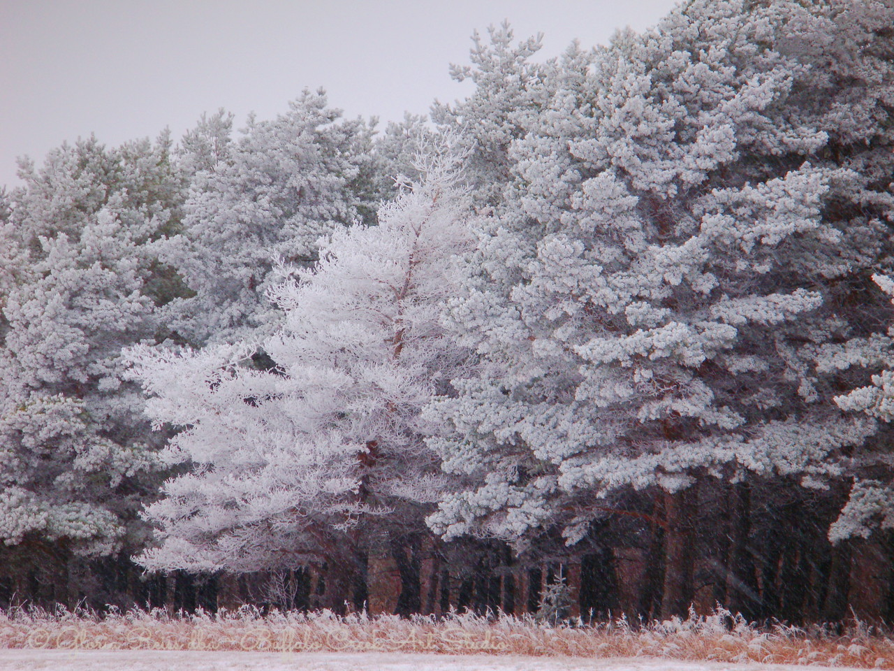 pine trees in a row all frosted up