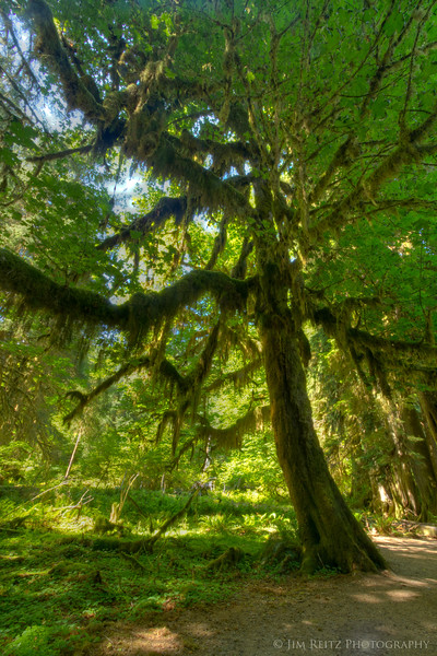 Hall of Mosses trail, Hoh Rainforest.