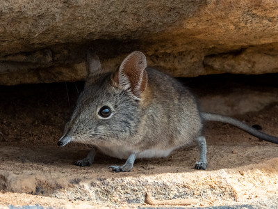 Cape Elephant Shrew (Elephantulus edwardii)