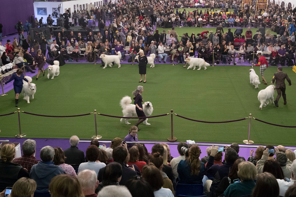. Great Pyrenees compete in the ring during the 141st Westminster Kennel Club Dog Show, Tuesday, Feb. 14, 2017, in New York. (AP Photo/Mary Altaffer)