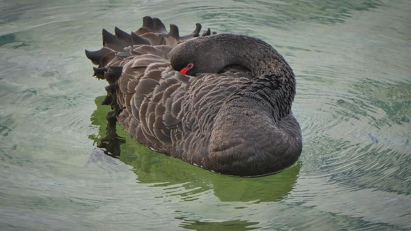 Swan eyeing.jpg