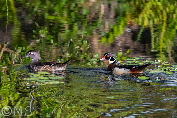Wood Duck Image Gallery