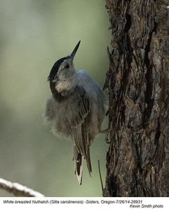 White-breasted Nuthatch 28931.jpg