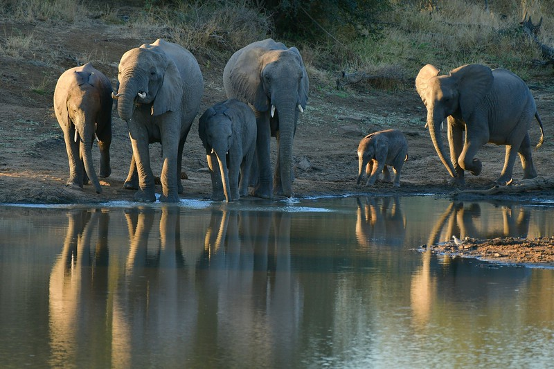 Elephants drinking.jpg