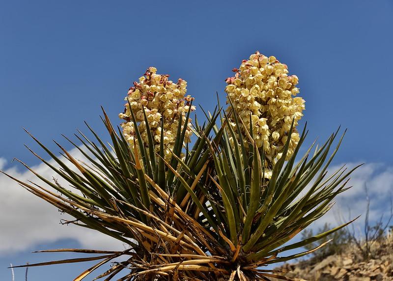 NEA_5515-7x5-Yucca.jpg