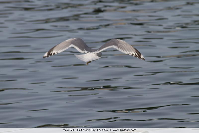 Mew Gull - Half Moon Bay, CA, USA