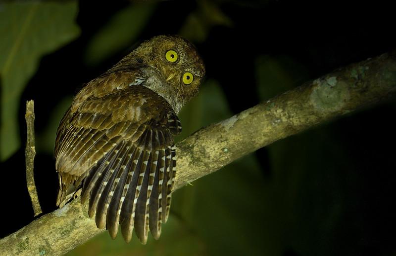 Andaman-scops-owl-1.jpg