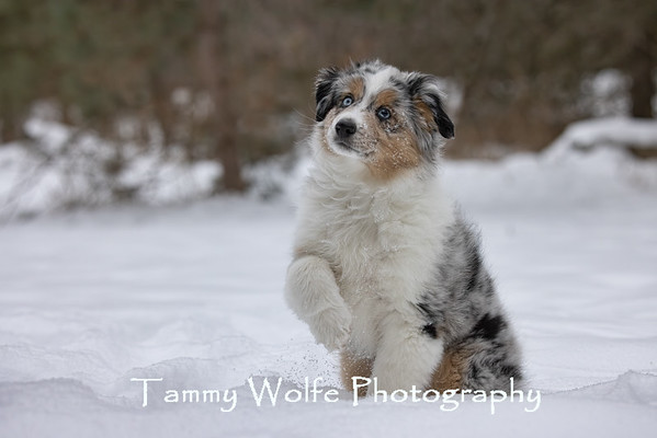 Dog,  Miniature American Shepherd