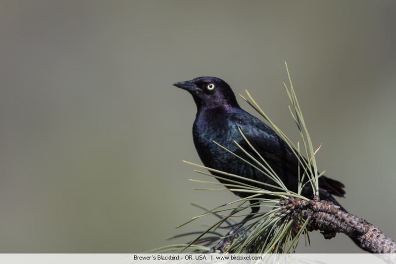 Brewer's Blackbird - OR, USA