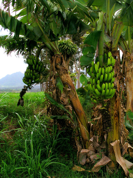 Apple Banana Trees