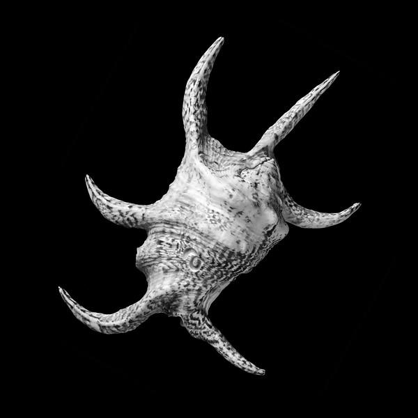 Spider Conch Seashell