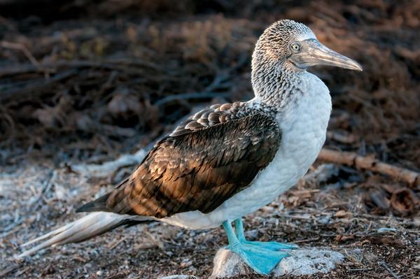 Galapagos Birds - Oct, 2013