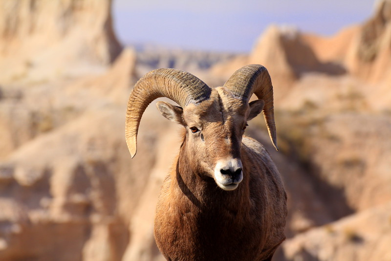Badland Bighorn Sheep 2.jpg