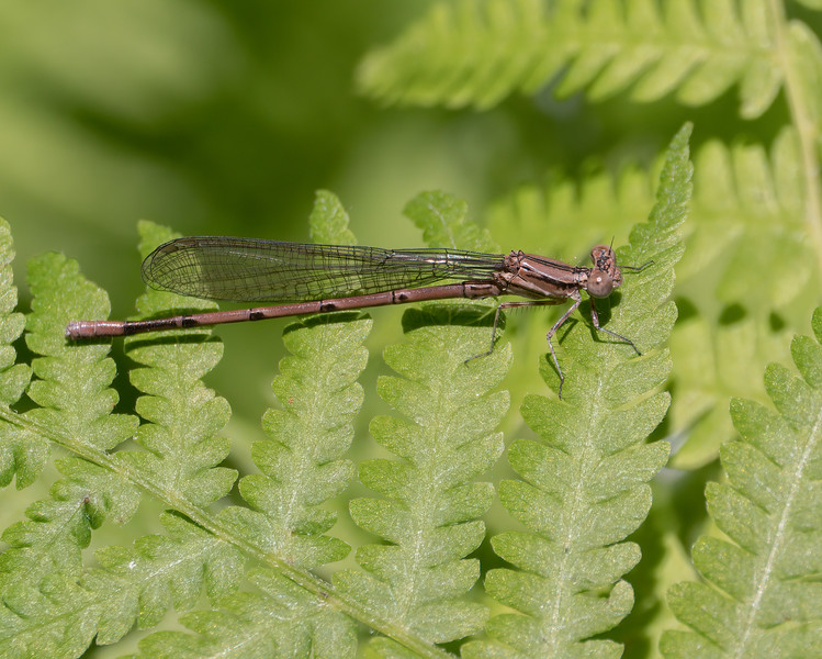 Variable Dancer (Argia fumipennis), Immature Male