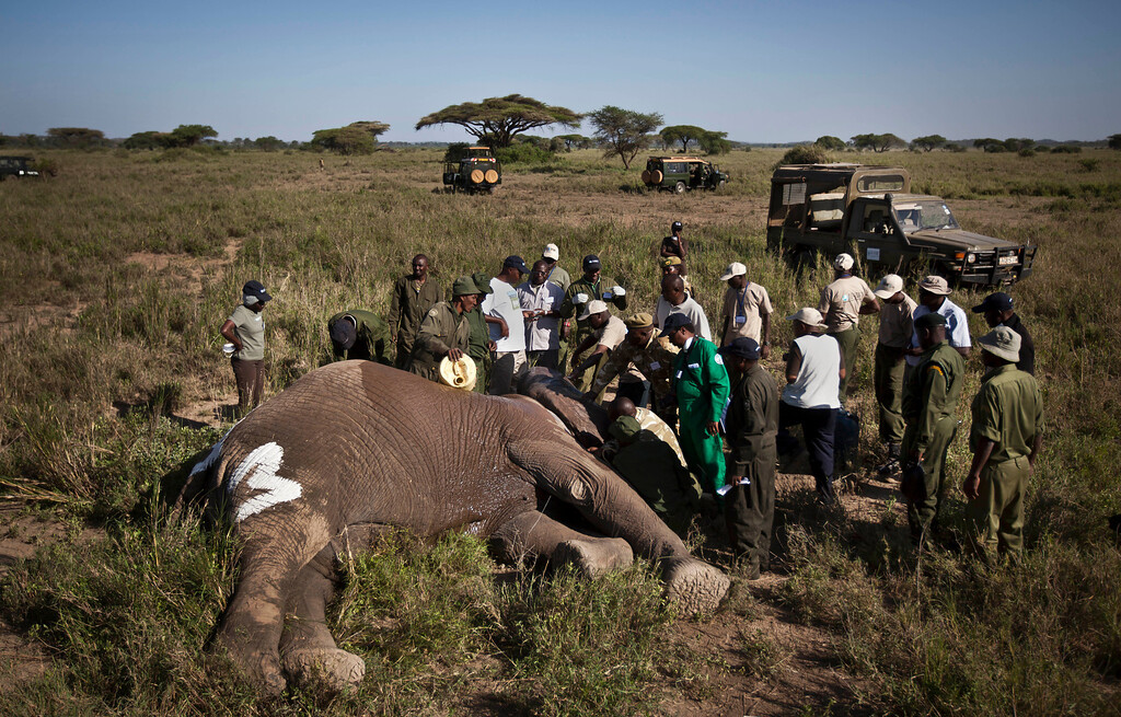 . In this Tuesday, Feb. 19, 2013 photo, a team from the Kenya Wildlife Service (KWS) and the International Fund for Animal Welfare (IFAW) fit a GPS-tracking collar onto a tranquilized 26-year-old male elephant, to monitor migration routes and to help prevent poaching, at the Kimana Wildlife Sanctuary next to Amboseli National Park in southern Kenya, near the border with Tanzania. Tanzania, Botswana, the Central African Republic, Chad, Congo and Kenya are suffering from elephant poaching. But Iain Douglas-Hamilton, the founder of the London-based nonprofit Save The Elephants, says he is most worried about Tanzania\'s because of its huge population - somewhere between 40,000 and 70,000. (AP Photo/Ben Curtis)
