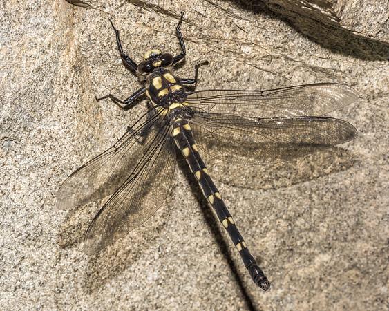 Uropetala chiltoni - Mountain giant dragonfly