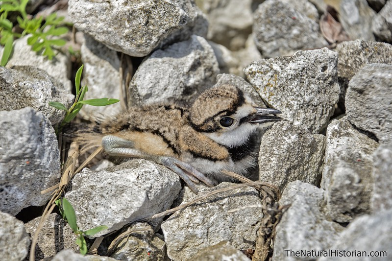 Killdeer-fledgling-justoutofnest-hiding-amongrocks.jpg