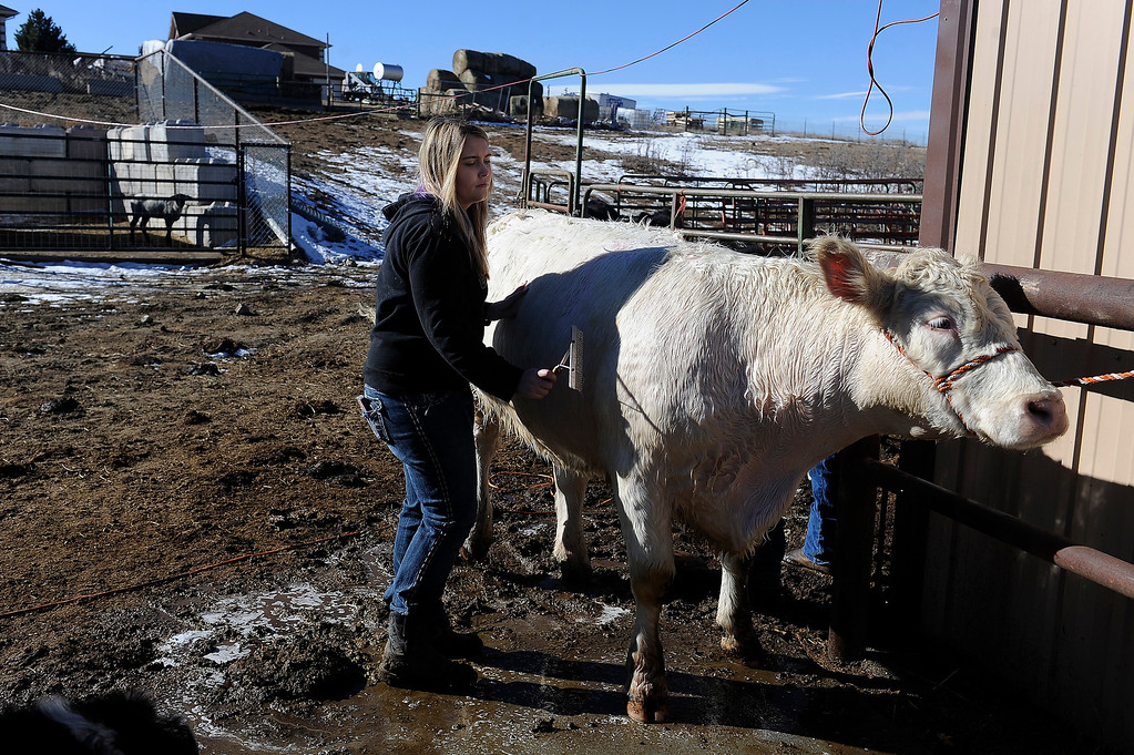 . CASTLE ROCK, CO - JANUARY 17: Rochelle Quinn combs soap through the hair of her short horn cow Lacy while prepping the bovine for show at her home in Castle Rock, Colorado on January 17, 2014. Quinn will be showing her animals during the National Western Stock Show this weekend in Denver. (Photo by Seth McConnell/The Denver Post)