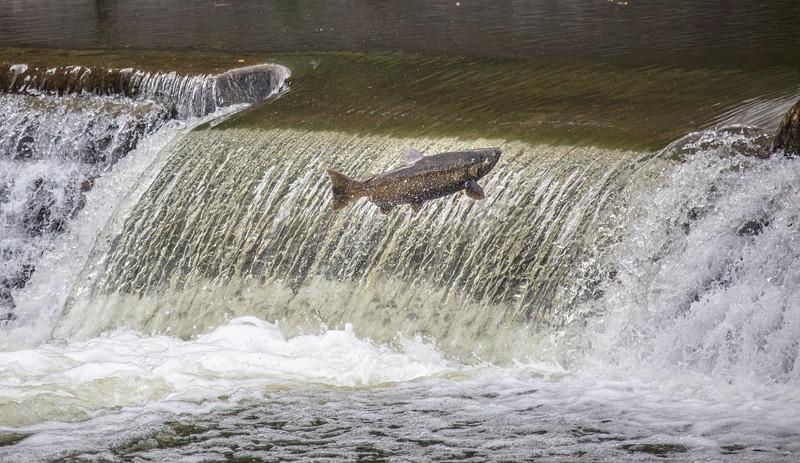salmon upstream (4 of 48).jpg