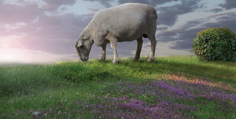 sheepintheflowers.jpg