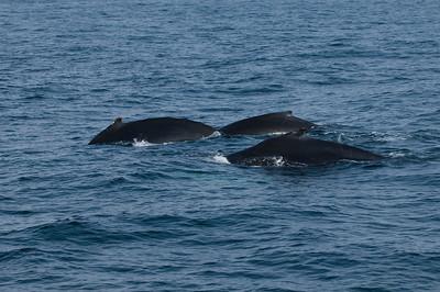 Entangled Humpback Whales - Gloucester, MA