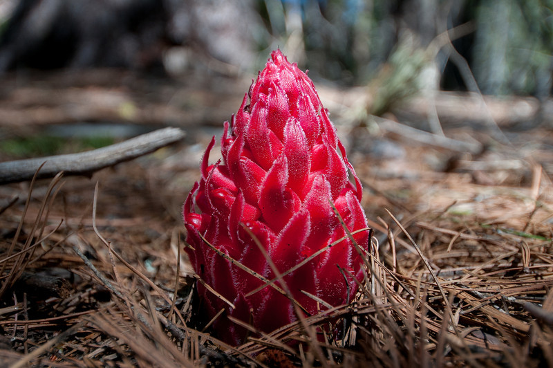 Snow Plant in Yosemite National Park in California
