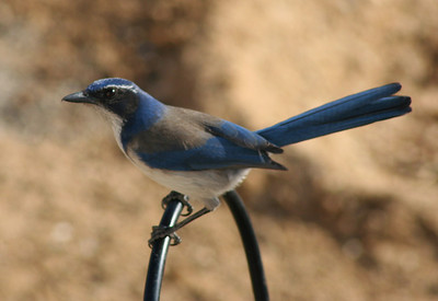 BIRDS: Jays, Crows & Magpies (Corvidae)