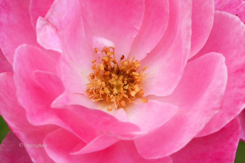 June 17_BrookdaleRose Pink_2317.jpg