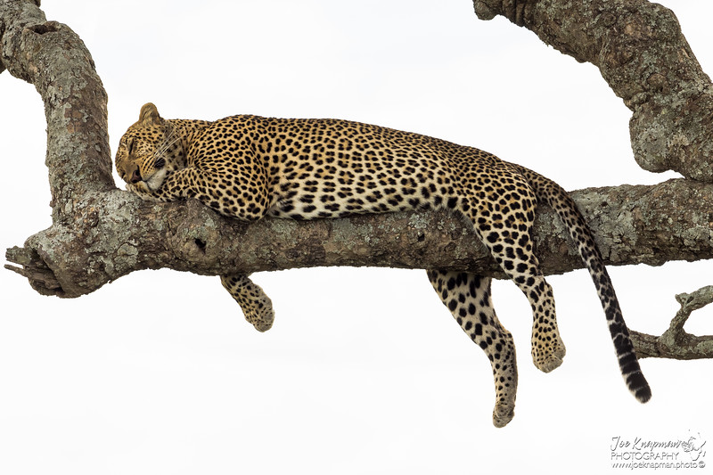 Leopard doing what Leopards do best