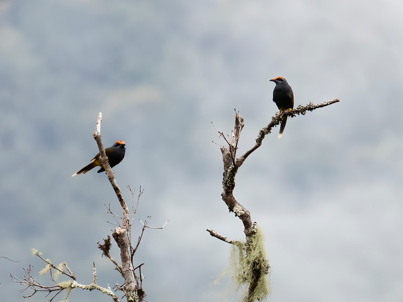 Fiery-browed Starling