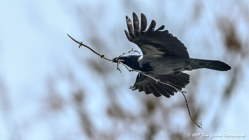 Gråkrage - Corvus cornix - Hooded crow