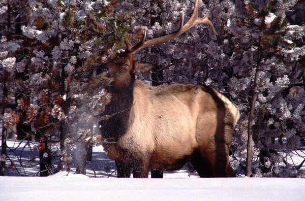 Bull elk YNP 96-05-003a.jpg
