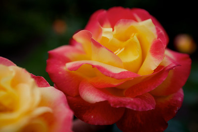 A small sample of the beautiful rose garden in Christchurch Botanical Gardens.