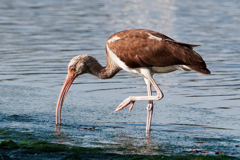 Ibis - White - juvenile - Ding Darling NWR - Sanibel, FL
