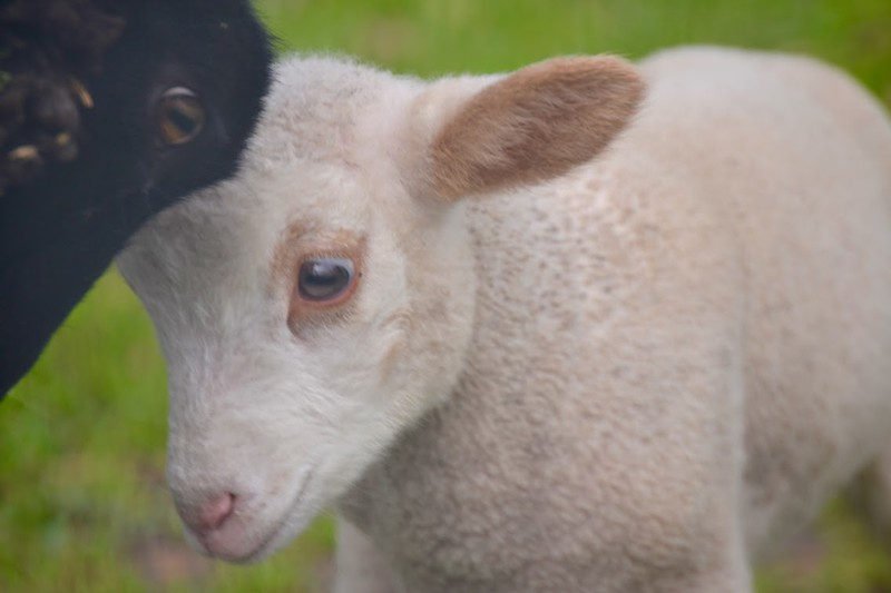 Lambs of Deer Hollow Farm