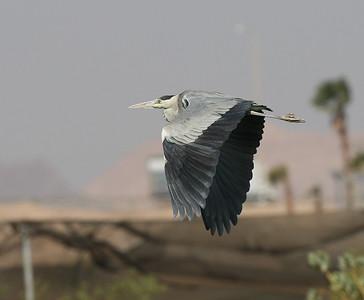 Harmaahaikara (Ardea cinerea)