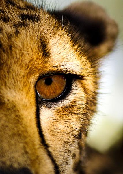 cheetah eye.jpg