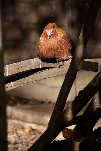 Junglefowl - Beale Park